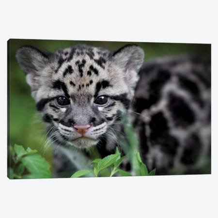 Leopard Cub Canvas Print #JRP41} by Jonathan Ross Photography Canvas Artwork
