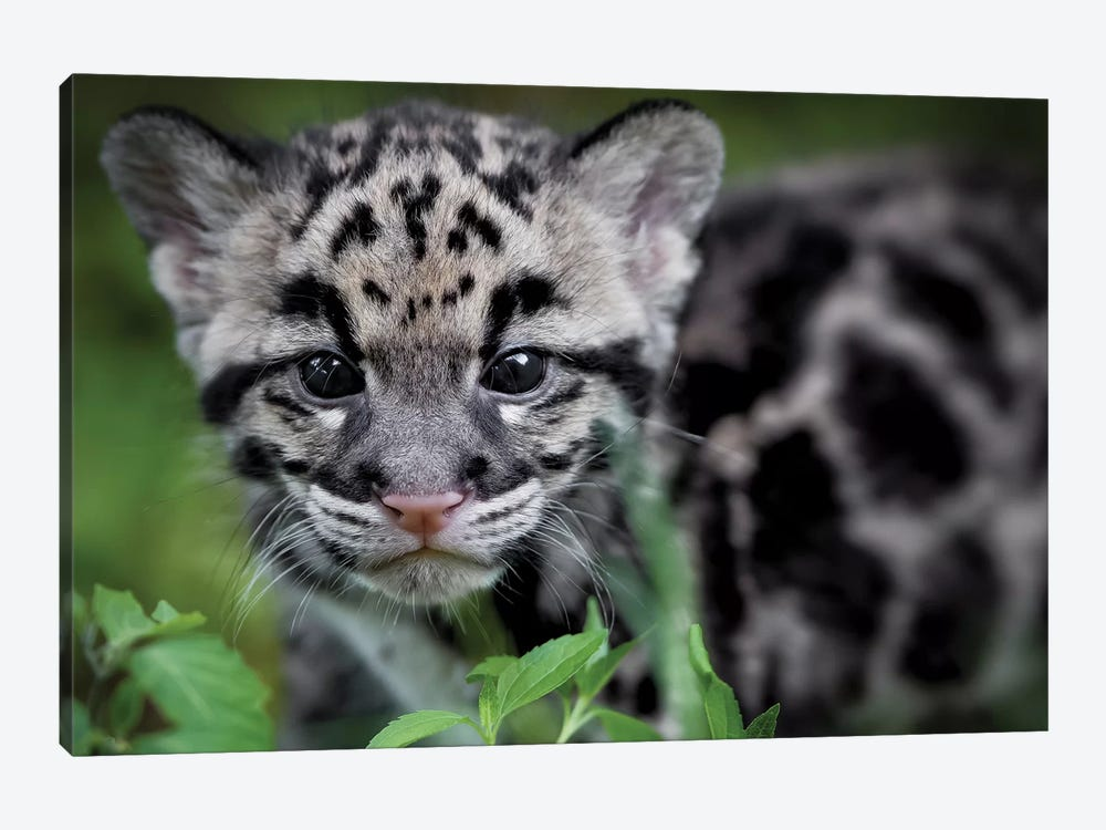 Leopard Cub by Jonathan Ross Photography 1-piece Art Print
