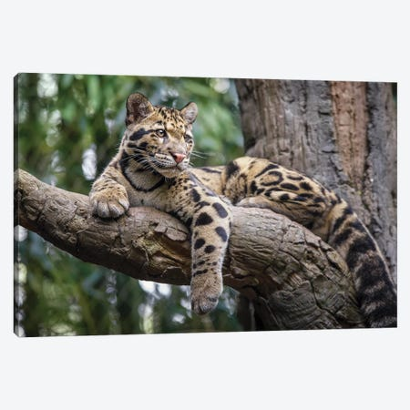 Leopard Stare Canvas Print #JRP42} by Jonathan Ross Photography Canvas Art