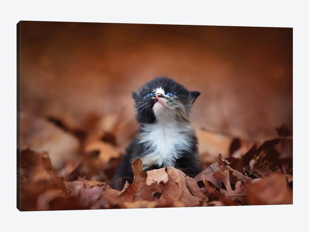 Meowing In The Leaves by Jonathan Ross Photography 1-piece Canvas Art Print