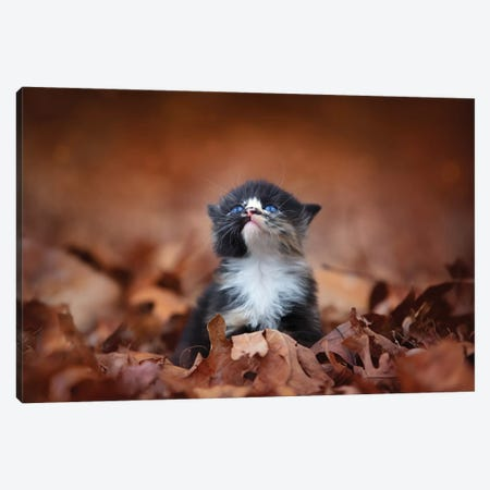 Meowing In The Leaves 3-Piece Canvas #JRP50} by Jonathan Ross Photography Canvas Print