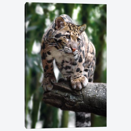 Ready To Pounce Canvas Print #JRP70} by Jonathan Ross Photography Art Print