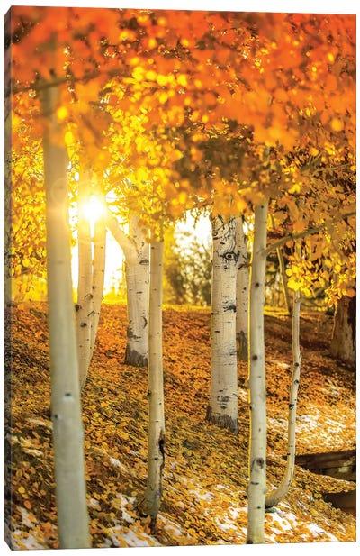 Sunburst Through The Aspens Canvas Art Print