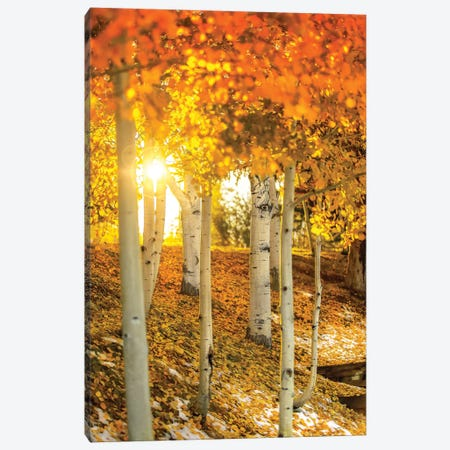 Sunburst Through The Aspens Canvas Print #JRP89} by Jonathan Ross Photography Canvas Wall Art