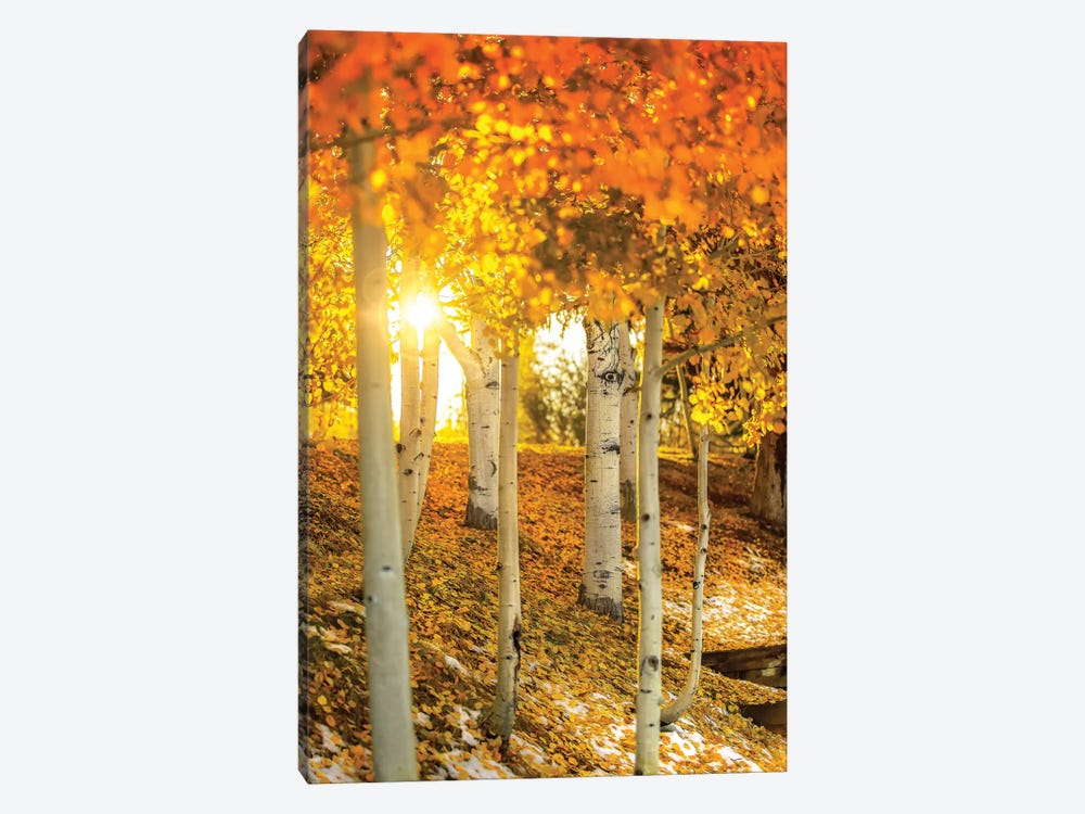 Sunburst Through The Aspens by Jonathan Ross Photography 1-piece Canvas Print