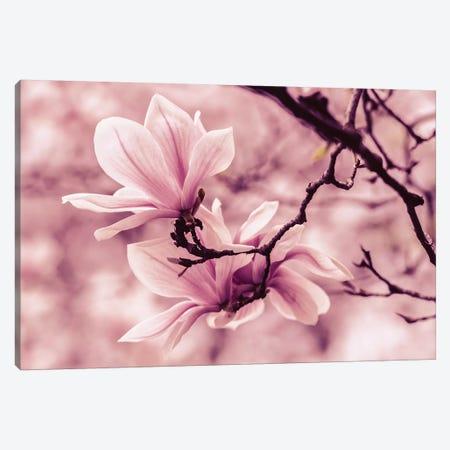 Pretty Pink Magnolias Canvas Print #JRS62} by Jaroslaw Blaminsky Canvas Print