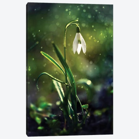 The First Snowdrop Canvas Print #JRS81} by Jaroslaw Blaminsky Art Print