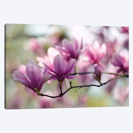 Branch Of Pink Magnolia Canvas Print #JRS8} by Jaroslaw Blaminsky Canvas Art Print