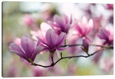 Branch Of Pink Magnolia Canvas Art Print