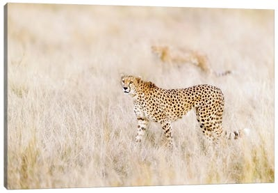 A Pair Of Cheetahs Move Stealthily Through The Long Grass, Masai Mara Canvas Art Print