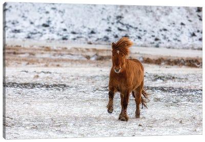 Chestnut Icelandic Horse Running Across A Snowy Meadow Canvas Art Print
