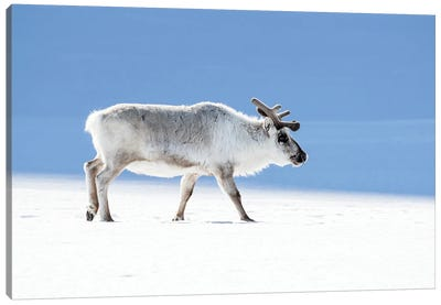 Adult Reindeer, Side Profile, Svalbard Canvas Art Print