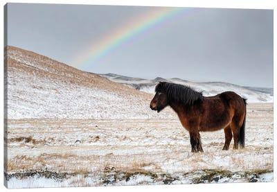 Chestnut Icelandic Horse With Rainbow Canvas Art Print