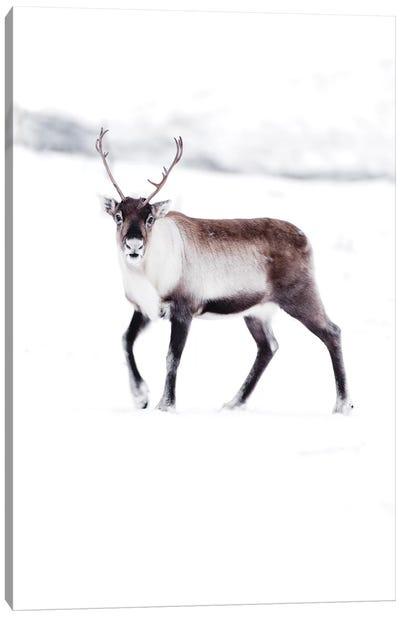 Arctic Reindeer Canvas Art Print