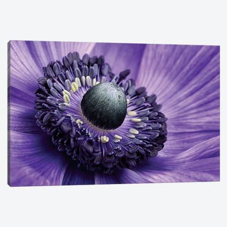 Poppy Anemone Stamen, Lincolnshire, England Canvas Print #JSN1} by Mark Johnson Canvas Artwork