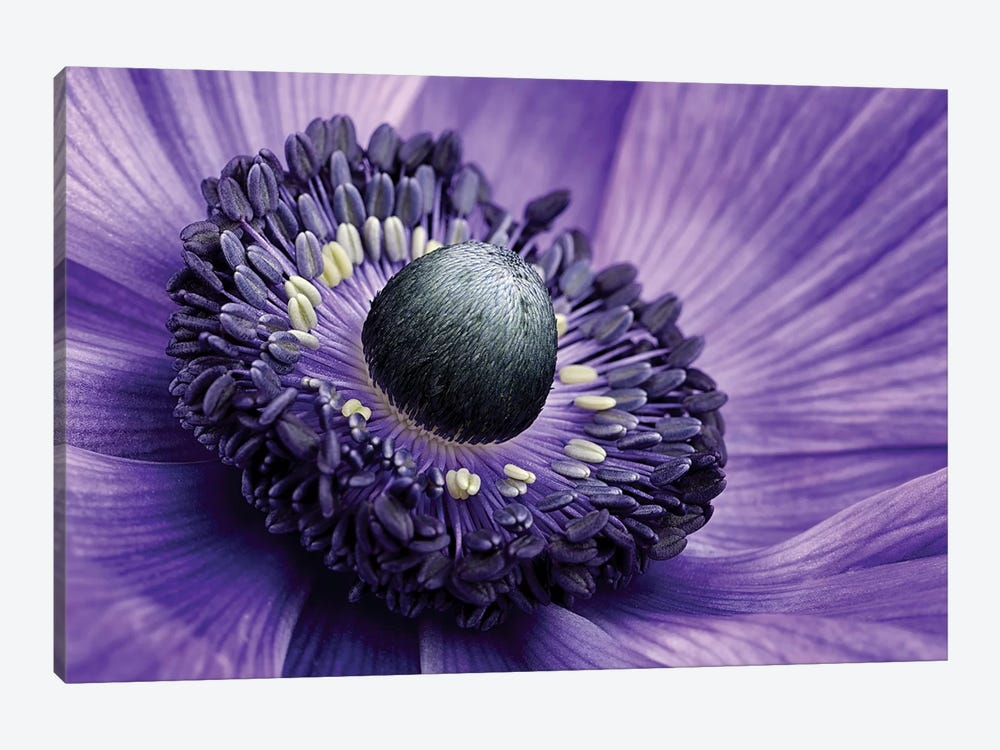 Poppy Anemone Stamen, Lincolnshire, England by Mark Johnson 1-piece Canvas Artwork