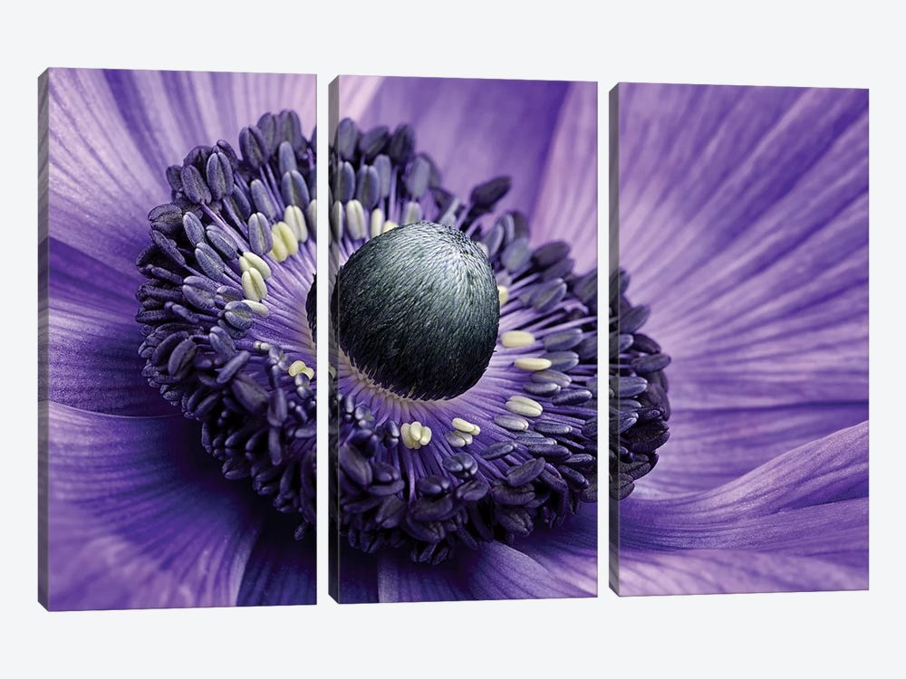 Poppy Anemone Stamen, Lincolnshire, England by Mark Johnson 3-piece Canvas Art