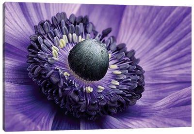 Poppy Anemone Stamen, Lincolnshire, England Canvas Art Print