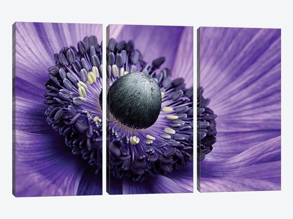Poppy Anemone Stamen, Lincolnshire, England by Mark Johnson 3-piece Canvas Art