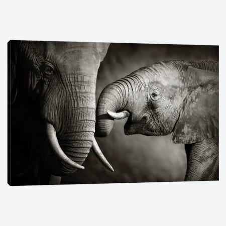 Elephant Affection Canvas Print #JSW11} by Johan Swanepoel Canvas Print