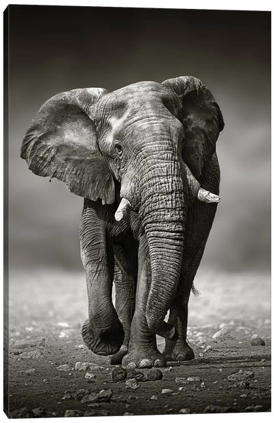 Elephant Approach From the Front Canvas Art Print