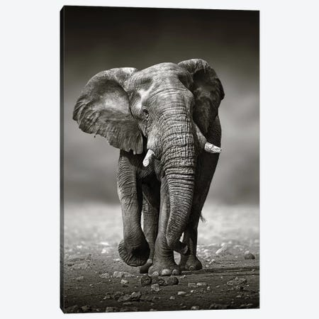 Elephant Approach From the Front Canvas Print #JSW12} by Johan Swanepoel Art Print