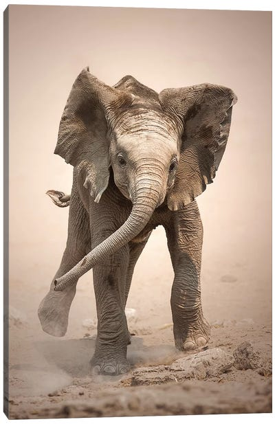 Elephant Calf Mock Charging Canvas Art Print