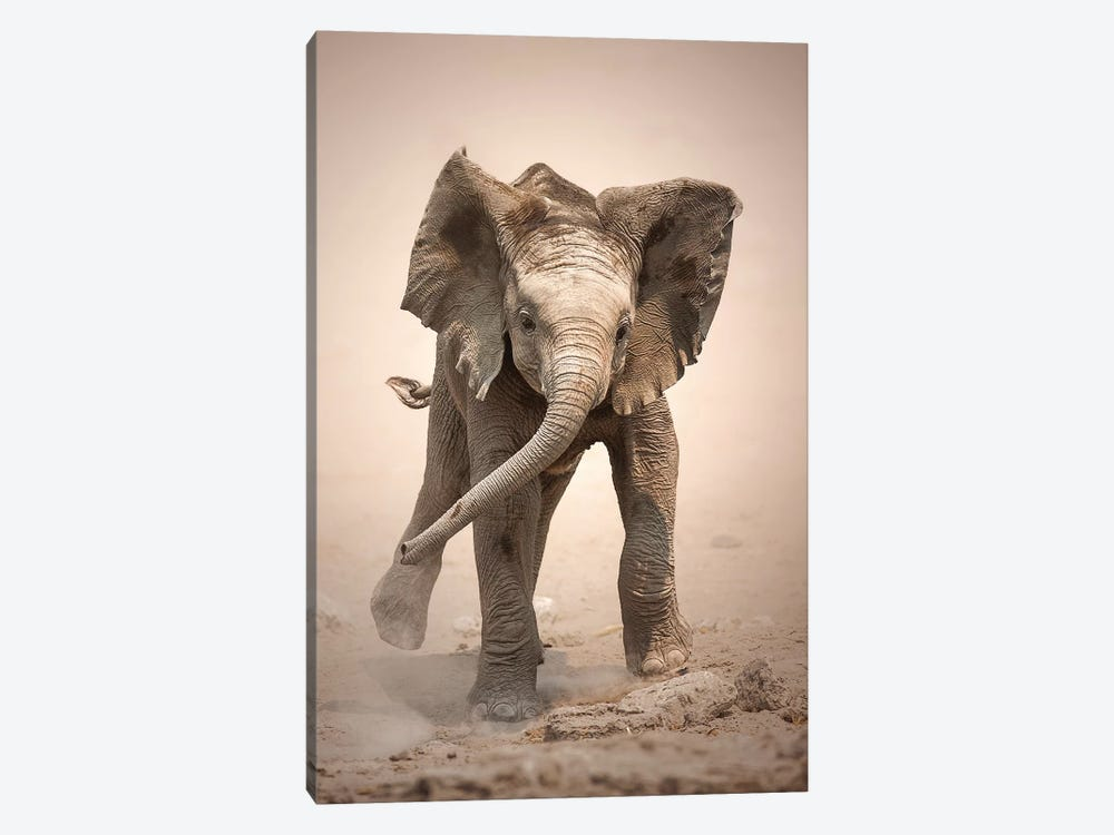 Elephant Calf Mock Charging by Johan Swanepoel 1-piece Canvas Print
