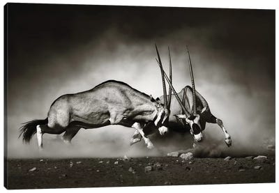 Gemsbok Fight Canvas Art Print