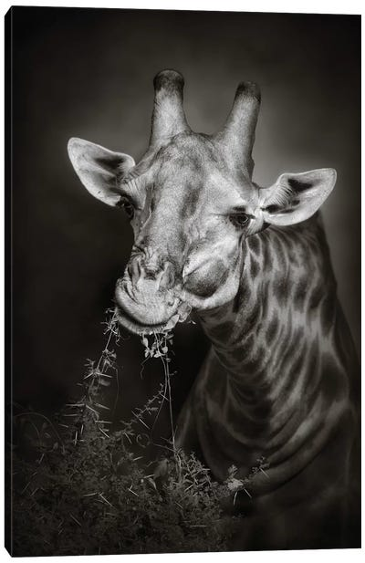 Giraffe Eating Canvas Art Print