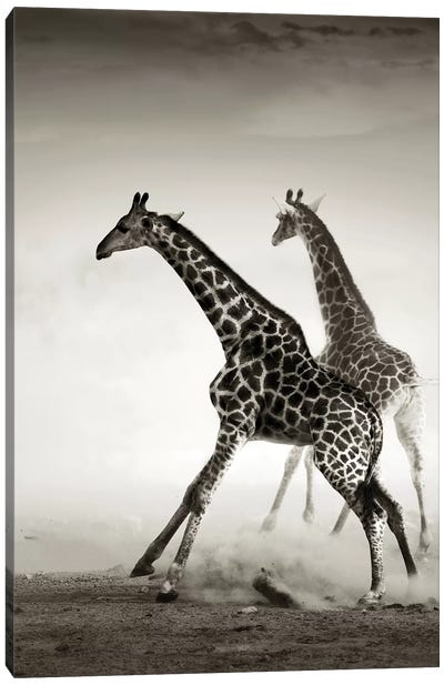 Giraffes Fleeing Canvas Art Print