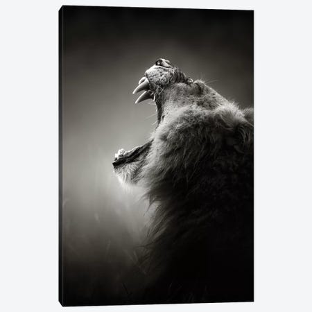 Lion Displaying Dangerous Teeth Canvas Print #JSW31} by Johan Swanepoel Canvas Art Print
