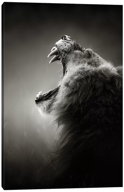 Lion Displaying Dangerous Teeth Canvas Art Print