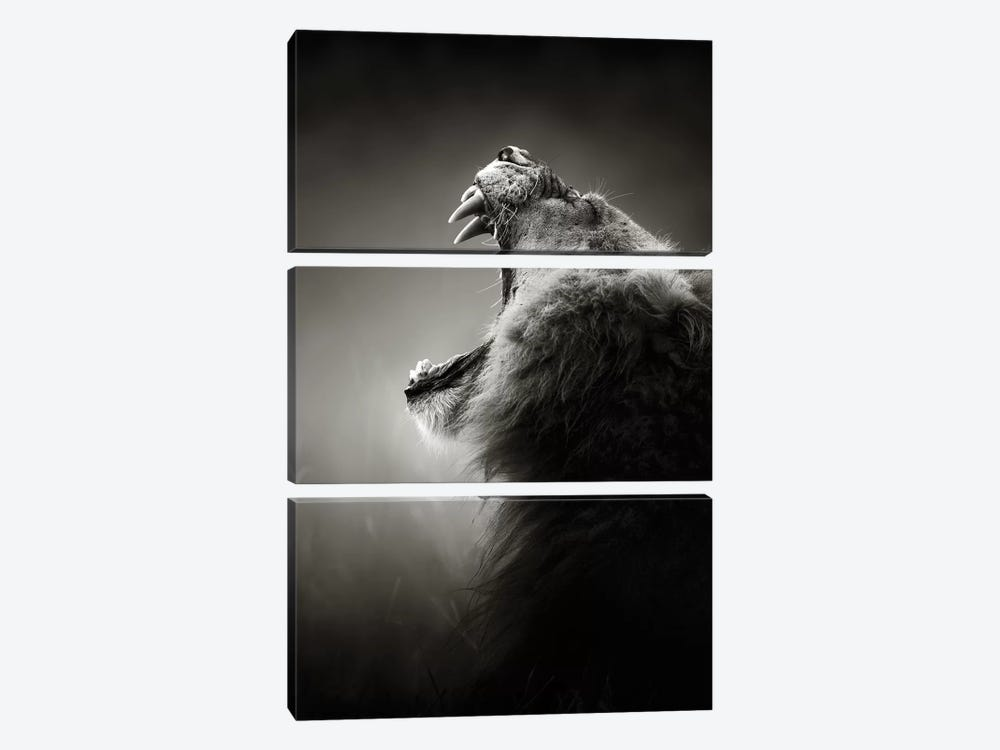 Lion Displaying Dangerous Teeth by Johan Swanepoel 3-piece Art Print