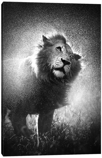 Lion Shaking Water Off Mane Canvas Art Print