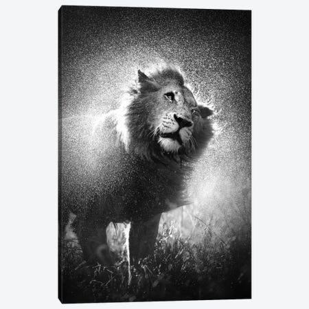 Lion Shaking Water Off Mane Canvas Print #JSW32} by Johan Swanepoel Art Print