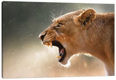Lioness In The Rain Canvas Art Print