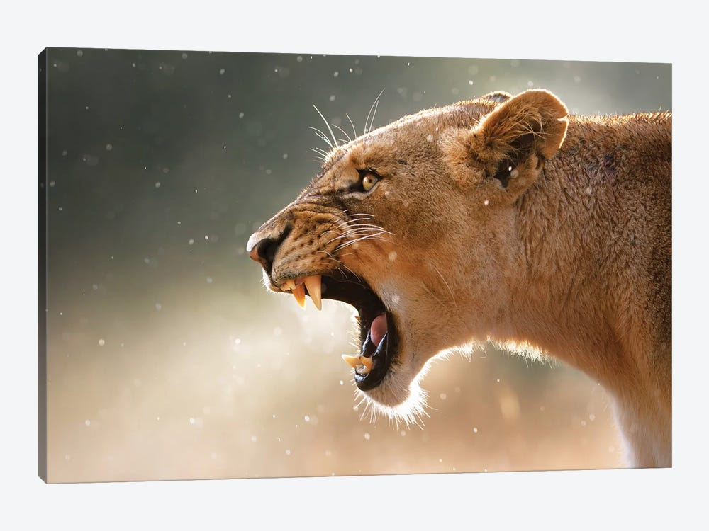 Lioness In The Rain by Johan Swanepoel 1-piece Canvas Print