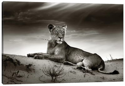 Lioness On Desert Dune Canvas Art Print