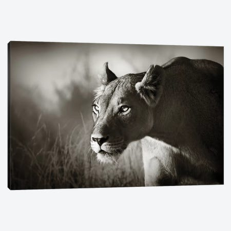 Lioness Stalking Canvas Print #JSW35} by Johan Swanepoel Canvas Wall Art