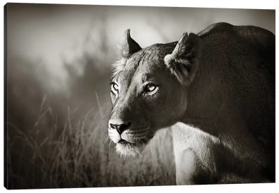 Lioness Stalking Canvas Art Print
