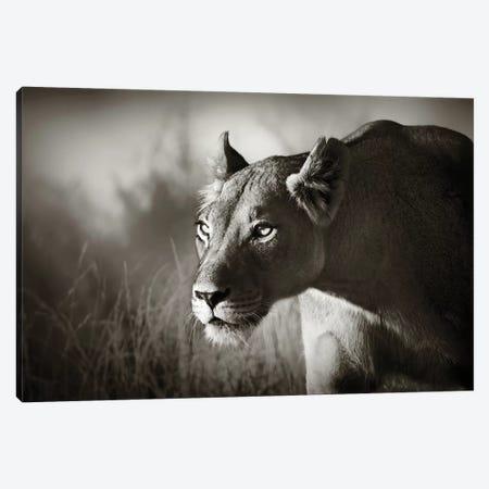 Lioness Stalking Canvas Print #JSW35} by Johan Swanepoel Canvas Wall Art