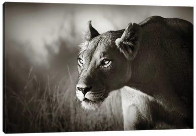 Lioness Stalking Canvas Art Print