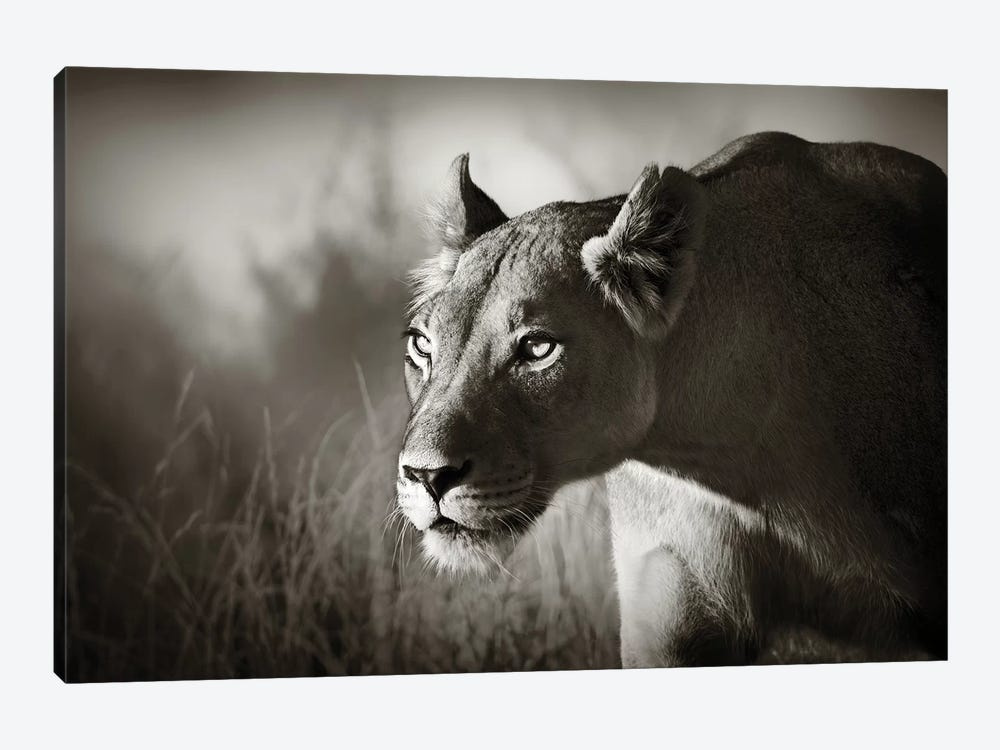 Lioness Stalking by Johan Swanepoel 1-piece Canvas Print
