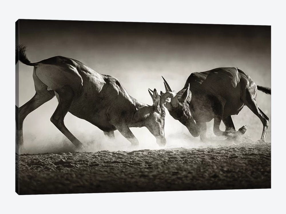 Red Hartebeast Dual In Dust by Johan Swanepoel 1-piece Canvas Art Print
