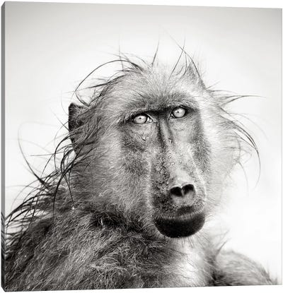 Wet Baboon Portrait Canvas Art Print
