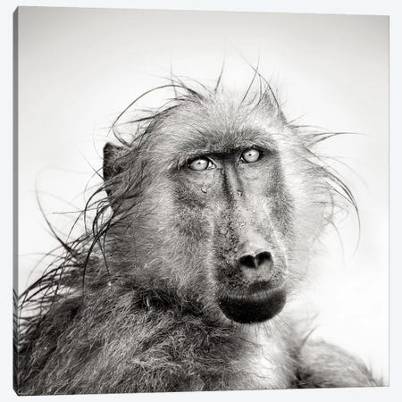 Wet Baboon Portrait 3-Piece Canvas #JSW44} by Johan Swanepoel Canvas Art Print