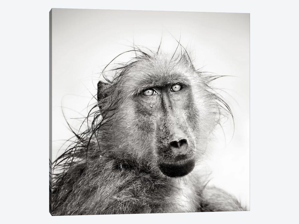 Wet Baboon Portrait by Johan Swanepoel 1-piece Canvas Print