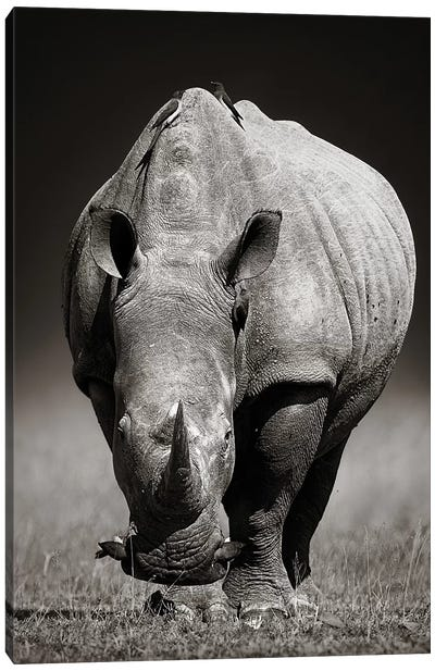 White Rhinoceros In Due-Tone Canvas Art Print
