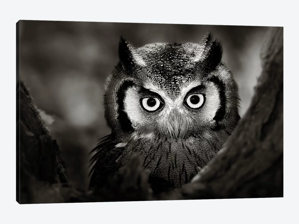 Whitefaced Owl by Johan Swanepoel 1-piece Canvas Artwork